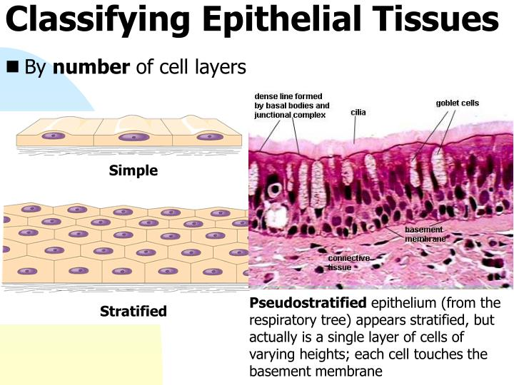 Classifying Epithelial Tissues