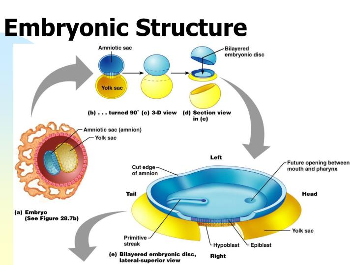 Embryonic Structure