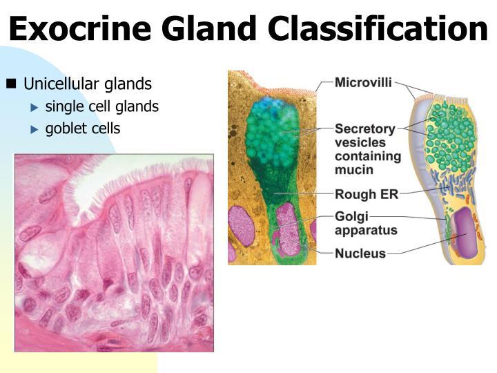 Exocrine Gland Classification