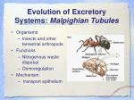 evolution of excretory systems malpighian tubules