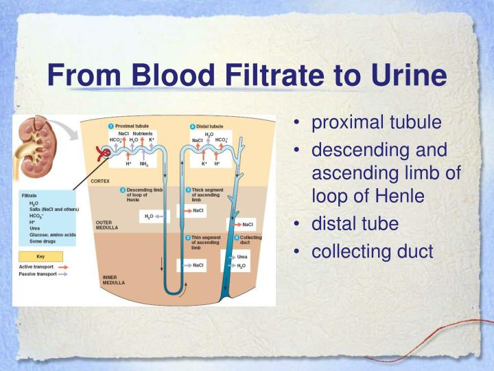 From Blood Filtrate to Urine