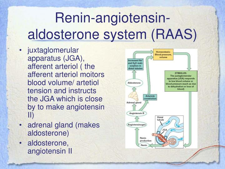 Renin-angiotensin-aldosterone system (RAAS)