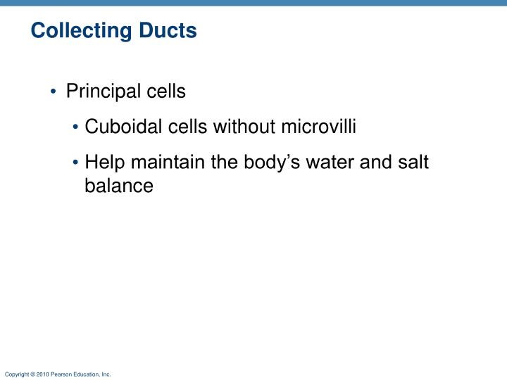 Collecting Ducts