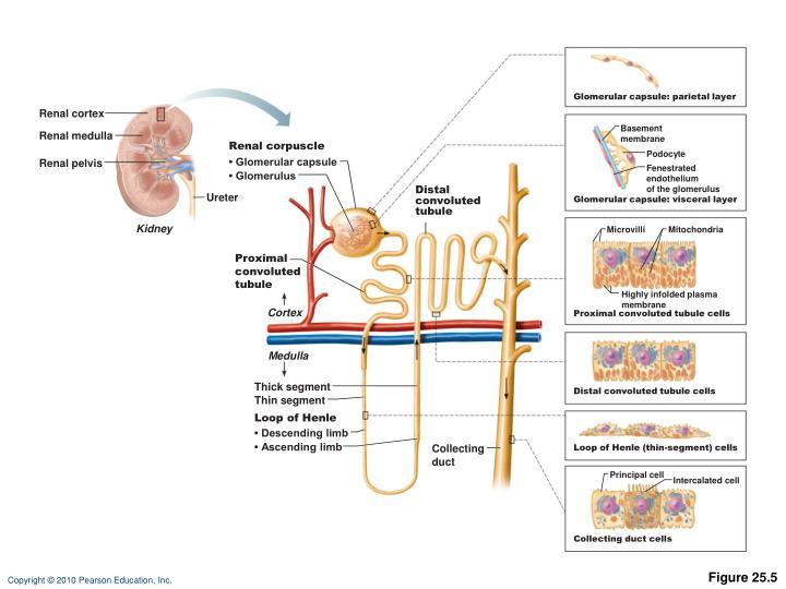 Glomerular capsule: parietal layer
