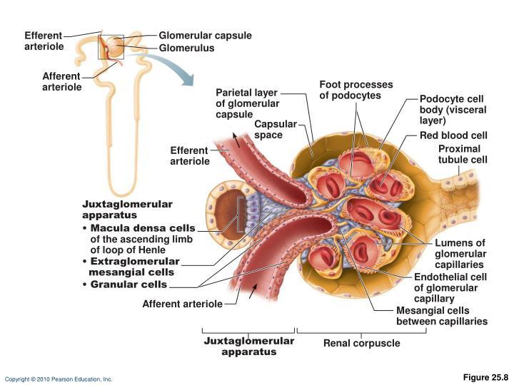 Glomerular capsule
