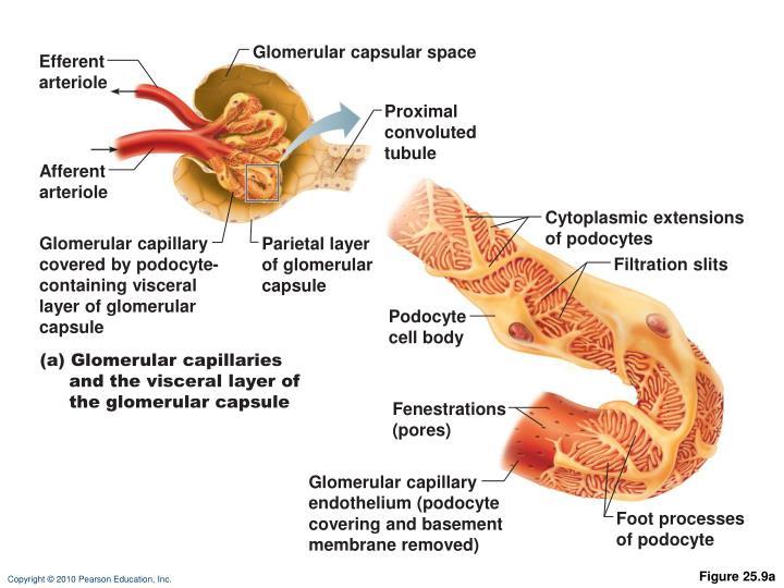 Glomerular capsular space