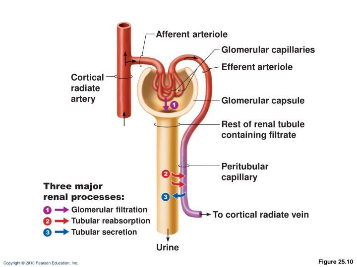 Afferent arteriole