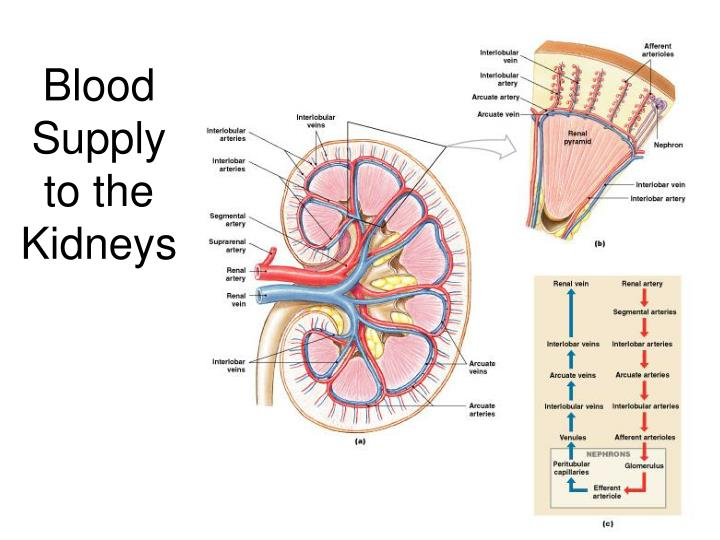 Blood Supply to the Kidneys