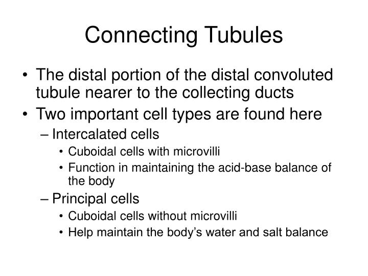 Connecting Tubules