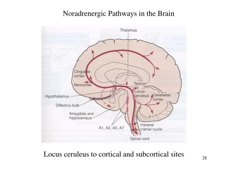 Noradrenergic Pathways in the Brain