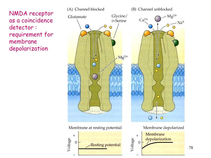 NMDA receptor as a coincidence detector : requirement for membrane depolarization