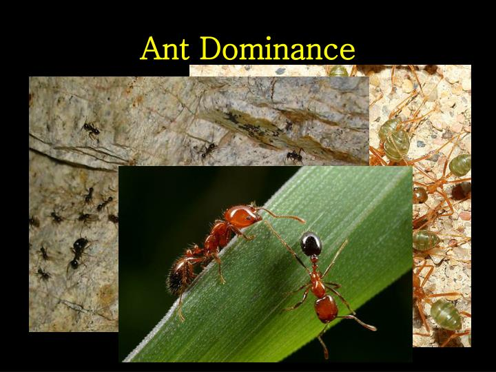 Ant Dominance