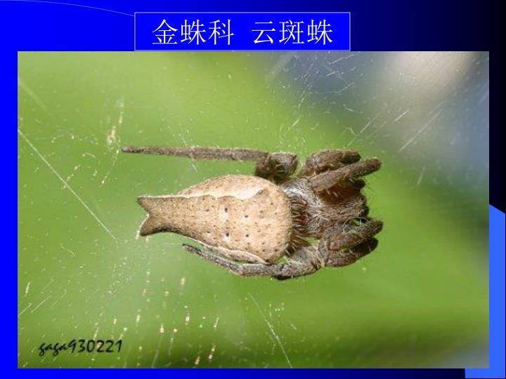 金蛛科  云斑蛛