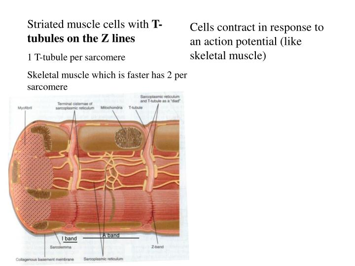Striated muscle cells with
