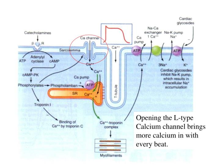 Opening the L-type Calcium channel brings more calcium in with every beat.