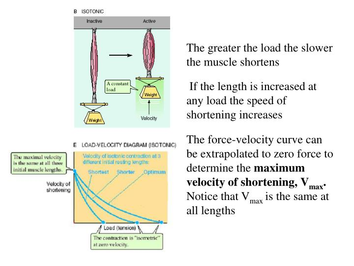 The greater the load the slower the muscle shortens