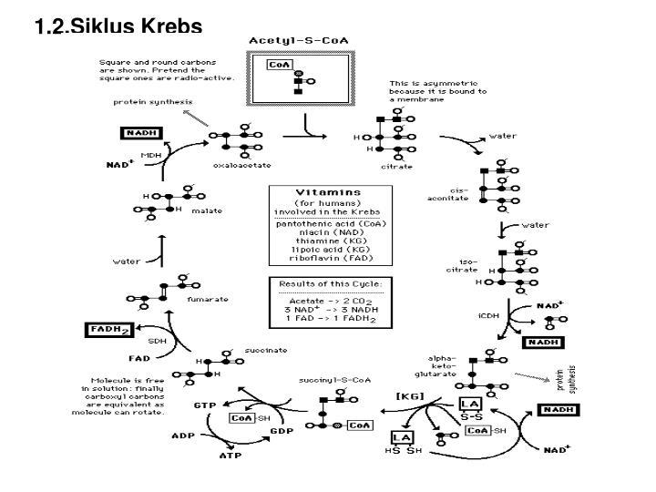 1.2.Siklus Krebs