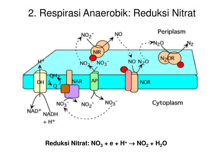 2. Respirasi Anaerobik: Reduksi Nitrat