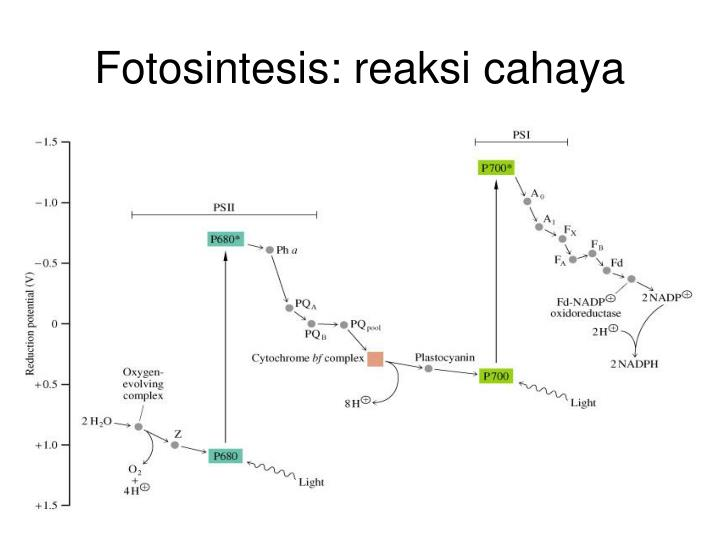 Fotosintesis: reaksi cahaya