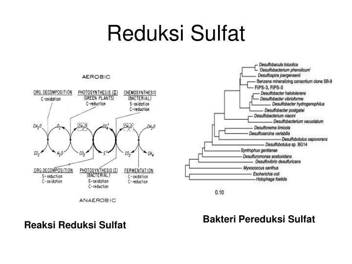 Reduksi Sulfat