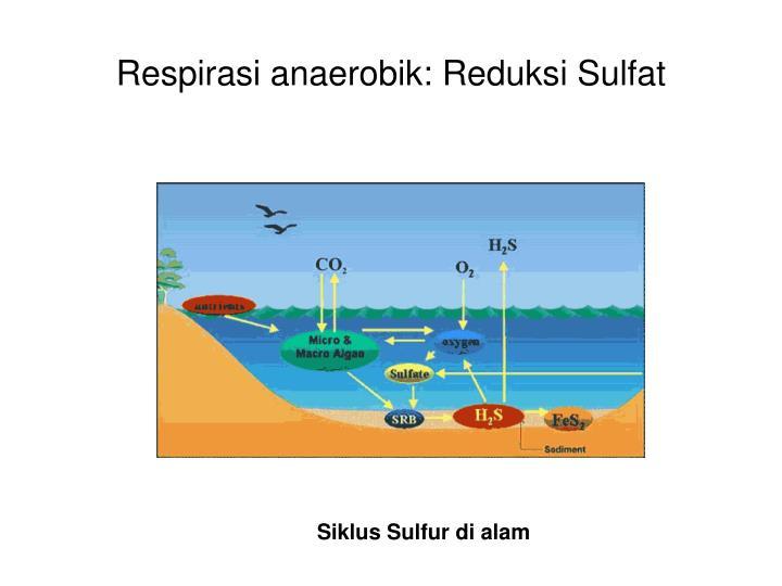 Respirasi anaerobik: Reduksi Sulfat
