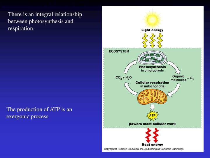 There is an integral relationship between photosynthesis and respiration.
