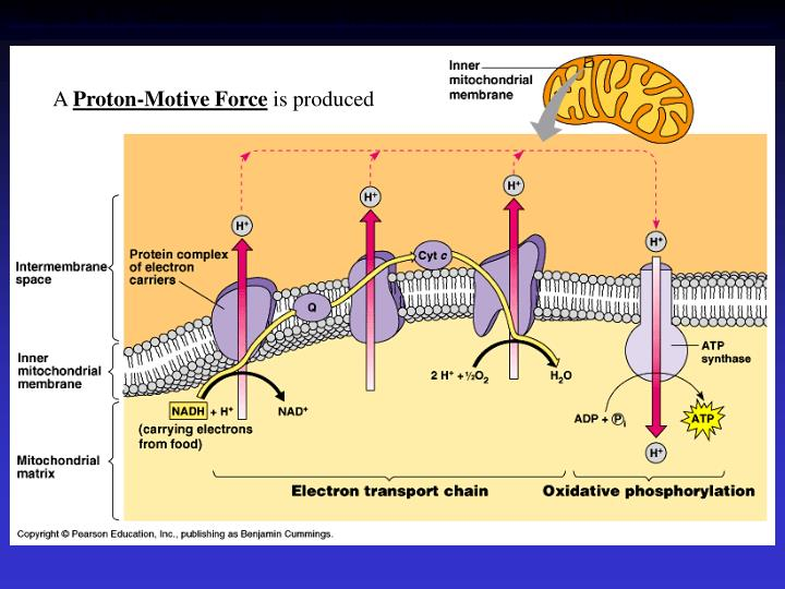Figure 9.15  Chemiosmosis couples the electron transport chain to ATP synthesis