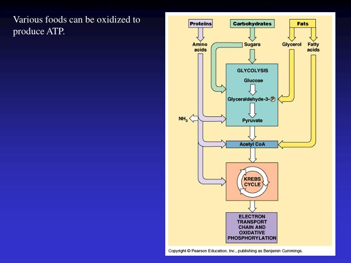 Various foods can be oxidized to produce ATP.