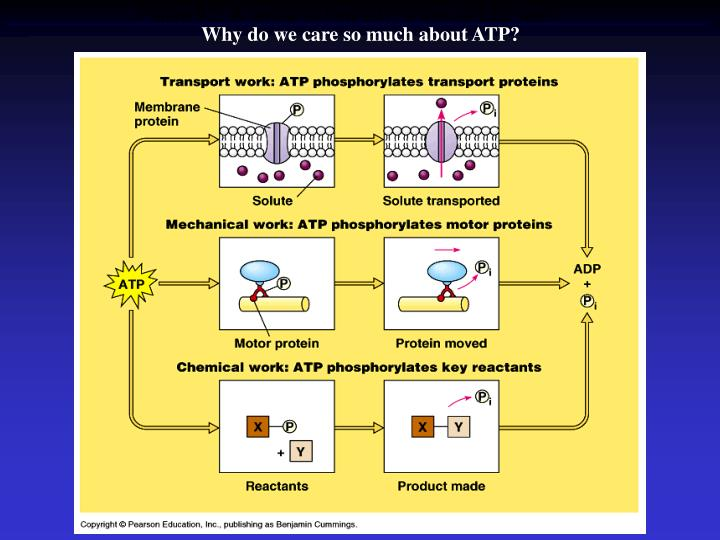 Why do we care so much about ATP?