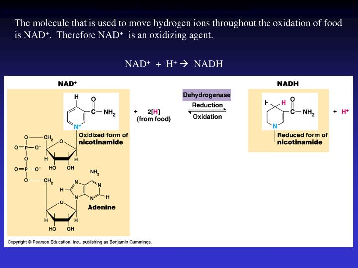 The molecule that is used to move hydrogen ions throughout the oxidation of food is NAD
