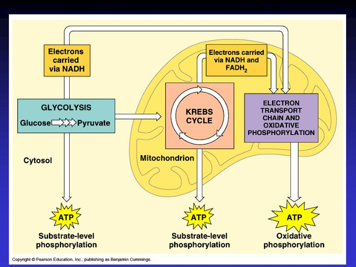 Figure 9.6  An overview of cellular respiration (Layer 3)