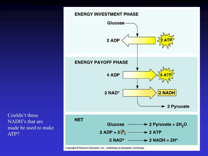 Figure 9.8  The energy input and output of glycolysis