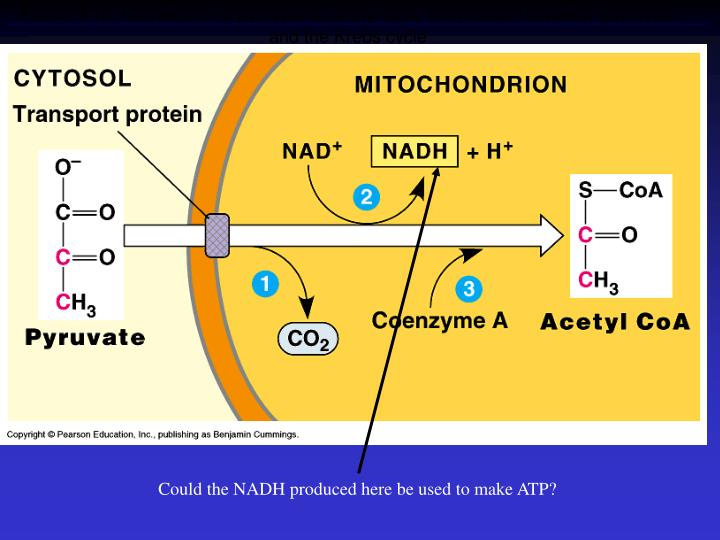 Figure 9.10  Conversion of pyruvate to acetyl CoA, the junction between glycolysis and the Krebs cycle