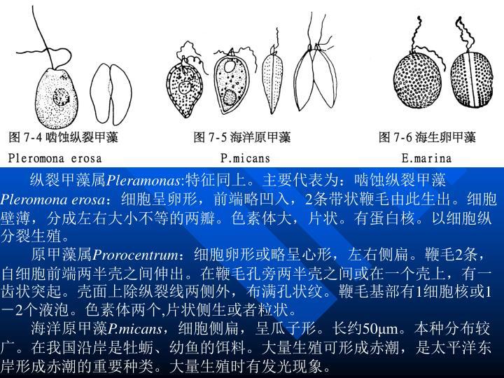 纵裂甲藻属