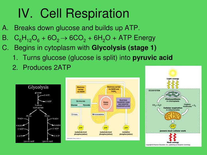 IV.  Cell Respiration