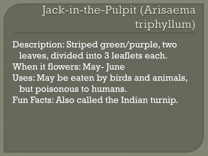 Jack-in-the-Pulpit (
