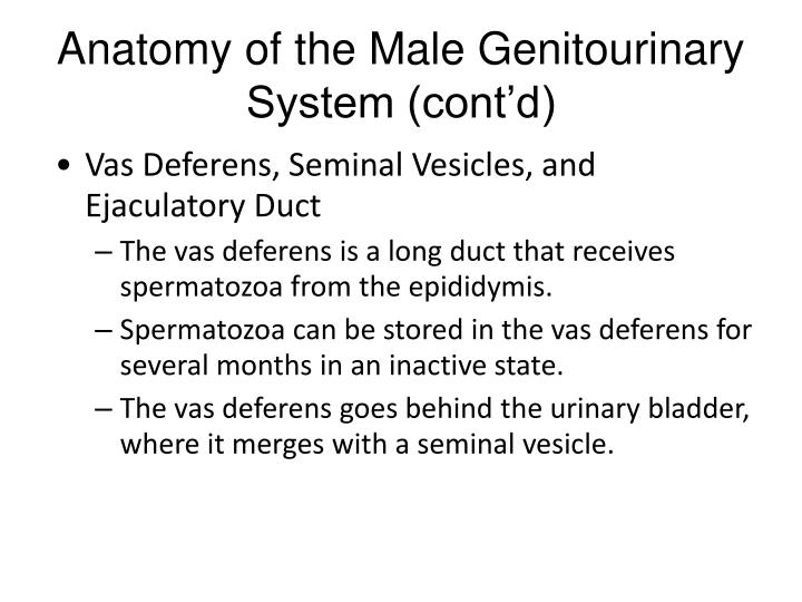 Vas Deferens, Seminal Vesicles, and Ejaculatory Duct