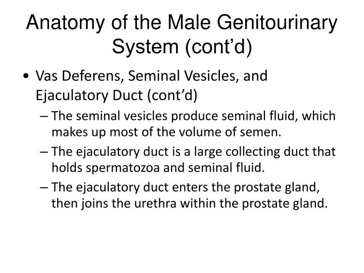 Anatomy of the Male Genitourinary System (cont'd)