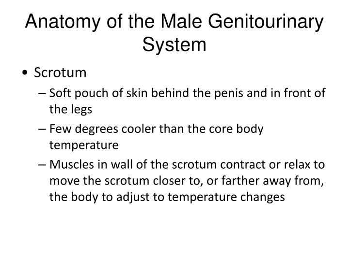 Anatomy of the Male Genitourinary System