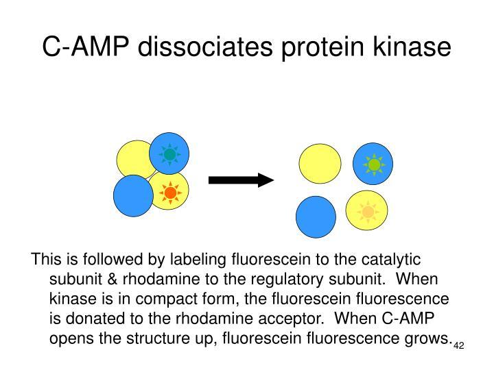 C-AMP dissociates protein kinase
