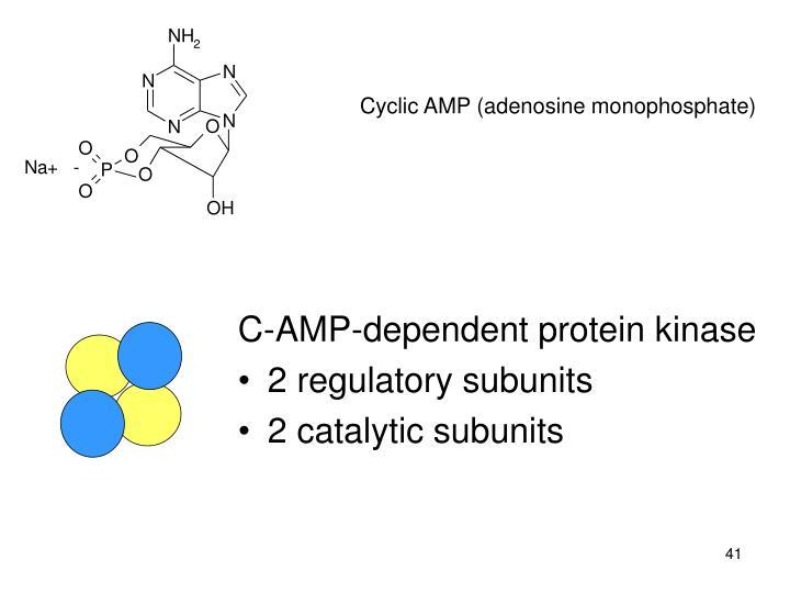 Cyclic AMP (adenosine monophosphate)