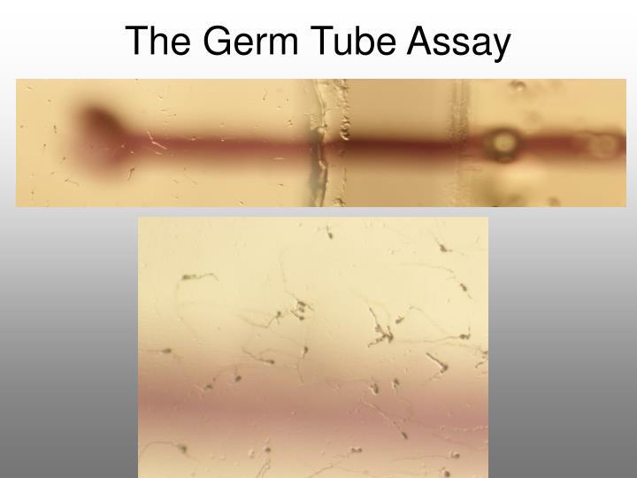 The Germ Tube Assay