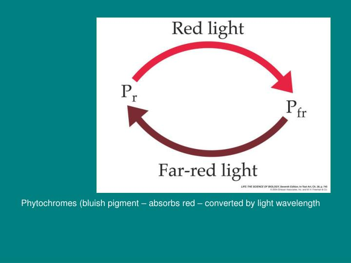 Phytochromes (bluish pigment – absorbs red – converted by light wavelength