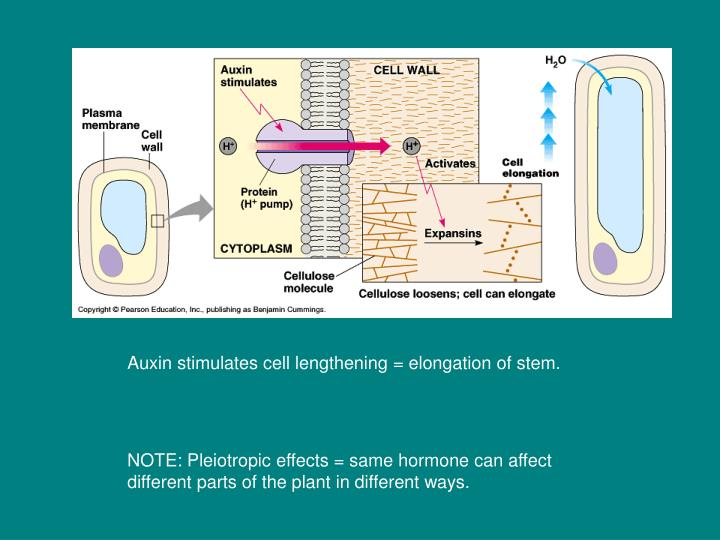 Auxin stimulates cell lengthening = elongation of stem.