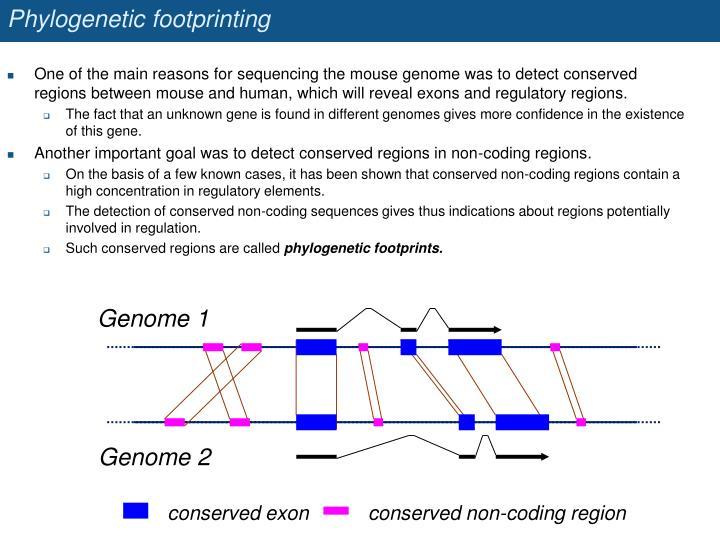 Phylogenetic footprinting