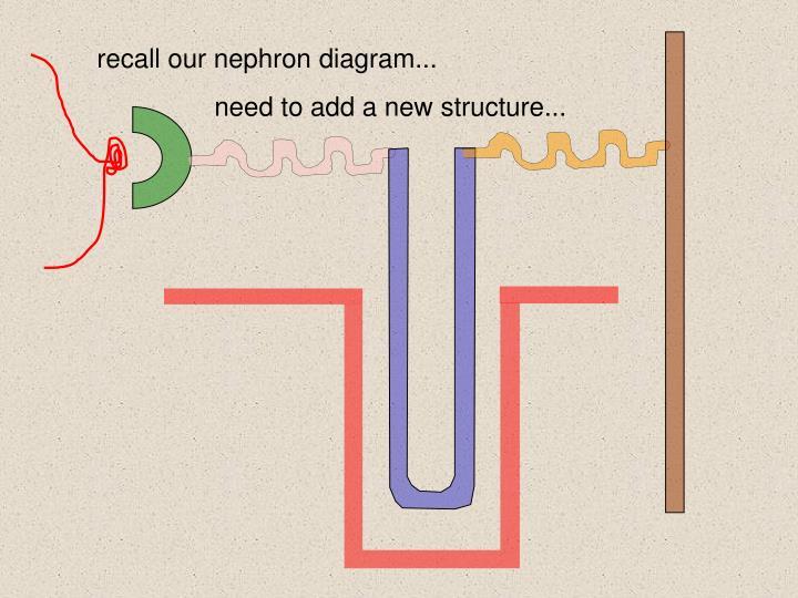 recall our nephron diagram...