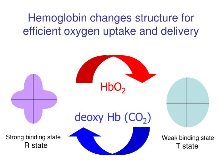 Hemoglobin changes structure for efficient oxygen uptake and delivery