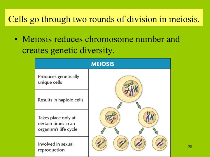 Cells go through two rounds of division in meiosis.
