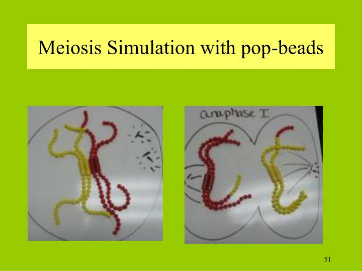 Meiosis Simulation with pop-beads