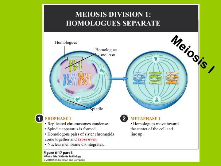 MEIOSIS DIVISION 1: HOMOLOGUES SEPARATE